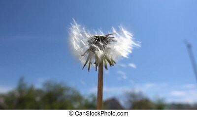 Fragile white dandelion blossom gets blown away. Close-up ...