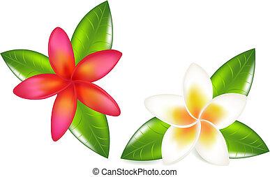 fragipani, con, hojas