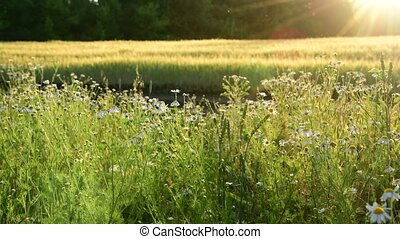 fragment Fields with flowers in Sun rays - a fragment of a...