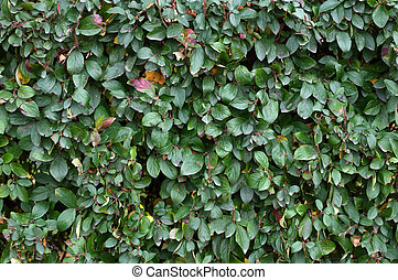 Fragment of a green hedge