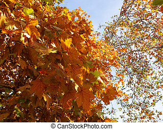 Fragment of a maple tree with yellow autumn leaves on a blue sky background