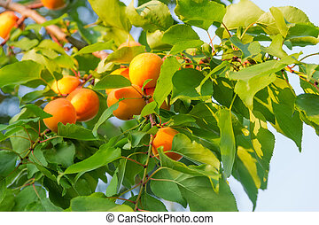 Fragment of apricot tree with ripe fruits at selective focus