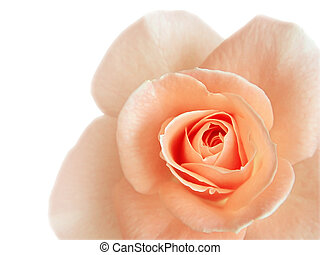 fragment of beautiful pink rose isolated on white