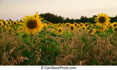fragment of blooming sunflowers at sunset in field - Field...