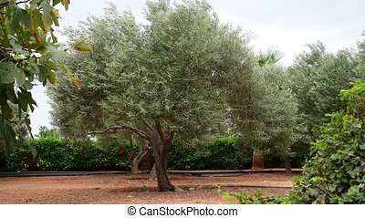 Fragment of garden with olive trees in November in Cyprus -...