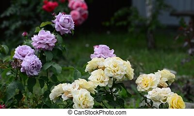 Fragment of garden with roses of different colors