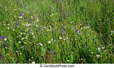 Fragment of meadow with daisies and other wildflowers in...