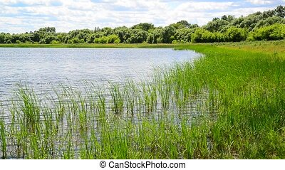 Fragment of pond overgrown with reeds - Fragment of pond...