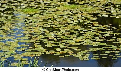 Fragment of river with yellow water lilies - a fragment of a...