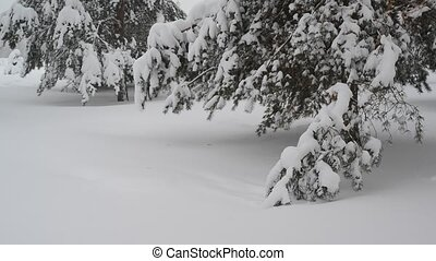 Fragment of spruce forest during a snowfall - Fragment of a...