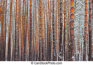 Fragment of the winter pine forest after a snowfall
