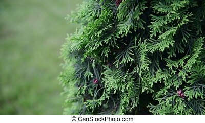 Fragment of thujas coniferous tree - Fragment of a thujas...