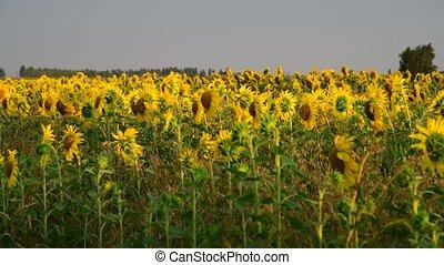 fragmento, campo, girassóis, pôr do sol, florescer
