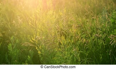 Fragments of the wild meadow in rays of setting sun -...