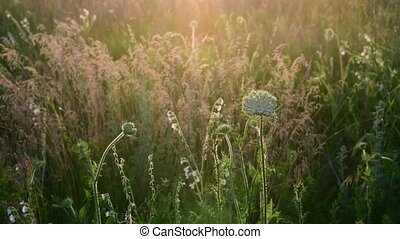 Fragments of the wild meadow in rays of setting sun. Nature...