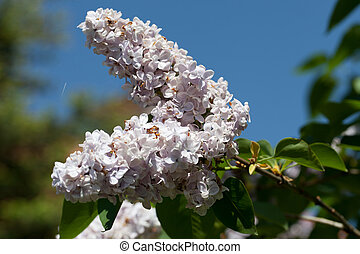 Fragrant lilac bush in the spring garden
