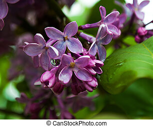 Fragrant lilac flowers bloom in spring