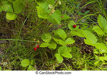 Fragrant red forest strawberry
