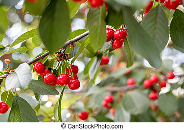 Fragrant ripe juicy cherry on a tiny branch with green leaves. Close up