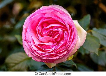 Fragrant Rose in Full Blossom. Washington Park Rose Garden, ...