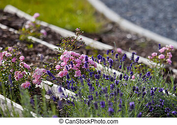 fragrant roses and lavender garden in the park