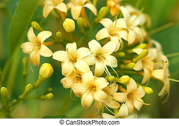 Fragrant yellow flowers (Fragraea fragrans Roxd.).