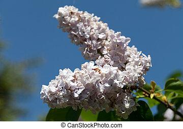 fragrante, cespuglio lilla, in, il, primavera, giardino