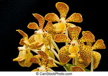 fragrante, vanda, isolato, orchidea