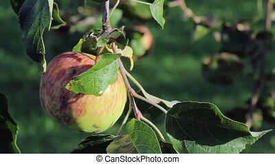frais, arbre, jardin, pommes rouges