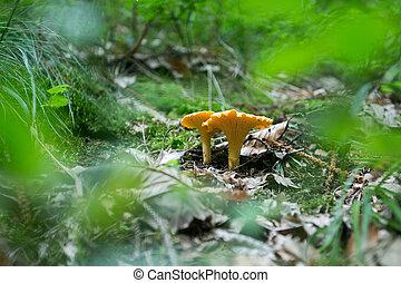 frais, chanterelle, forêt, champignon, terre