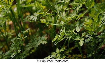 frais, développé, garden., persil, jeune, feuilles