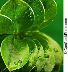 frais, feuilles, vert