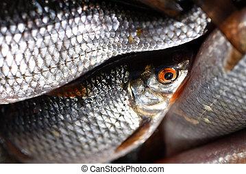frais, gros plan, fish