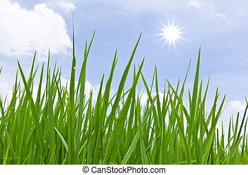 frais, herbe, vert, isolé, printemps