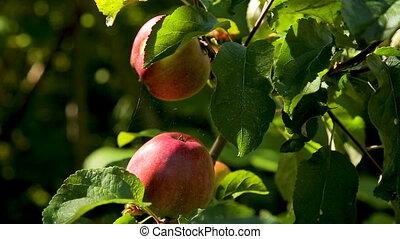 frais, rouges, jardin, branche, pommes