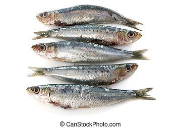 frais,  sardine