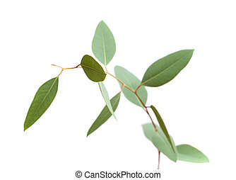 frais, vert, jeune, eucalyptus, branche