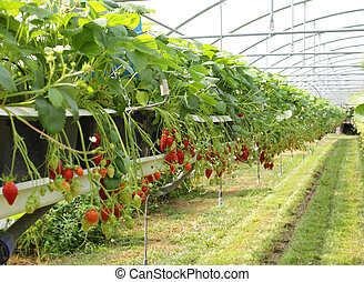 fraise, fraises, serre, culture