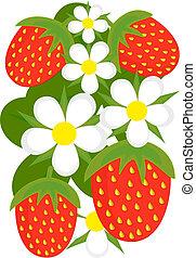 fraises, fond