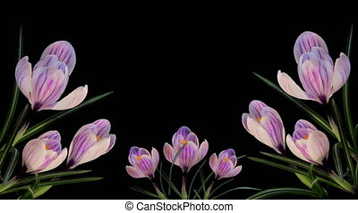Frame from Blooming Flowers Timelapse - Isolated Flowers...