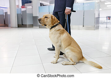 Frame image of a Labrador dog looking at camera, for detecting drugs at the airport standing near the customs guard.