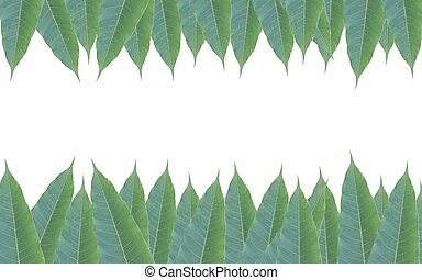 frame made of green leaves of mango tree isolated on white background.