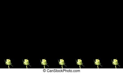 Frame of blooming roses time-lapse