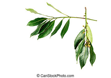 frame of laurel leaves isolated on a white background
