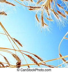 Frame of Wheat against Clear Sky - Frame of Wheat Ears...