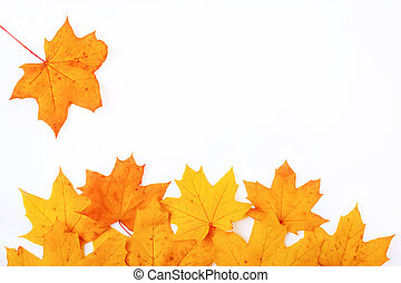frame on a white background with falling autumn maple leaf