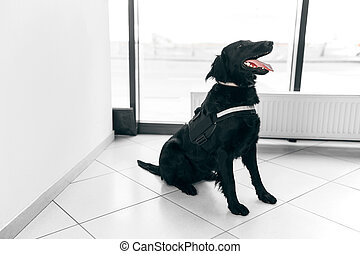 Frame view of a big black dog for drug detection at the airport on the floor.
