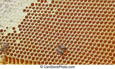 Frame with bee honeycombs filled with honey, and bees