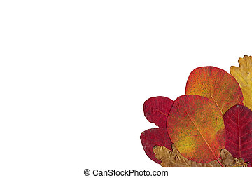 autumn multi-coloured maple leaves