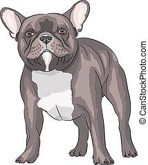 francês, bulldog.